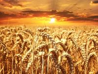 t_wheat-field-640960_640
